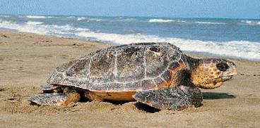 Sardegnacorpoforestale attivit vigilanza marittima for Tartaruga da acquario